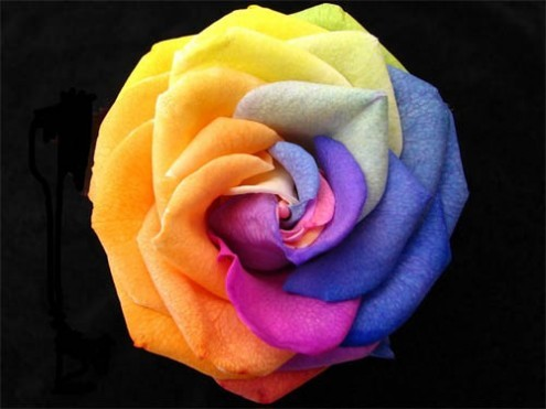 rose-of-many-colours1
